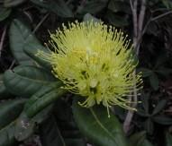 Xanthostemon pubescens