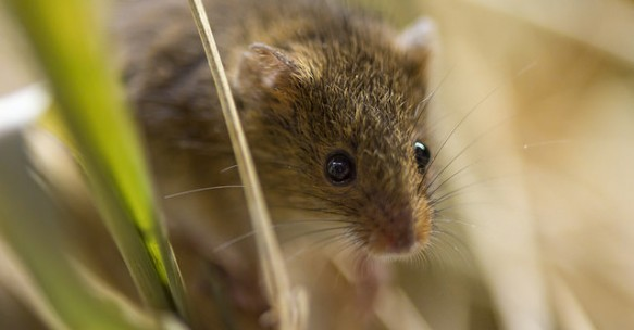 Scientific importance of mouse genome proven