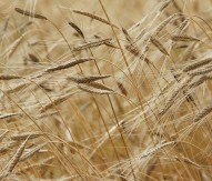 Genetic mechanism of wheat disease identified