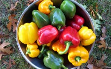 H2020 funds advancements in sweet pepper harvester