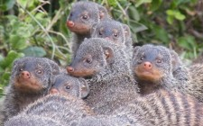 Wild mongooses use reproductive strategy to avoid inbreeding