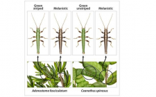 Stick insects species