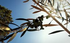 Olive tree © Torquay Palms
