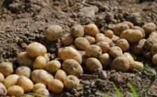 Potato experiment yields harvest success